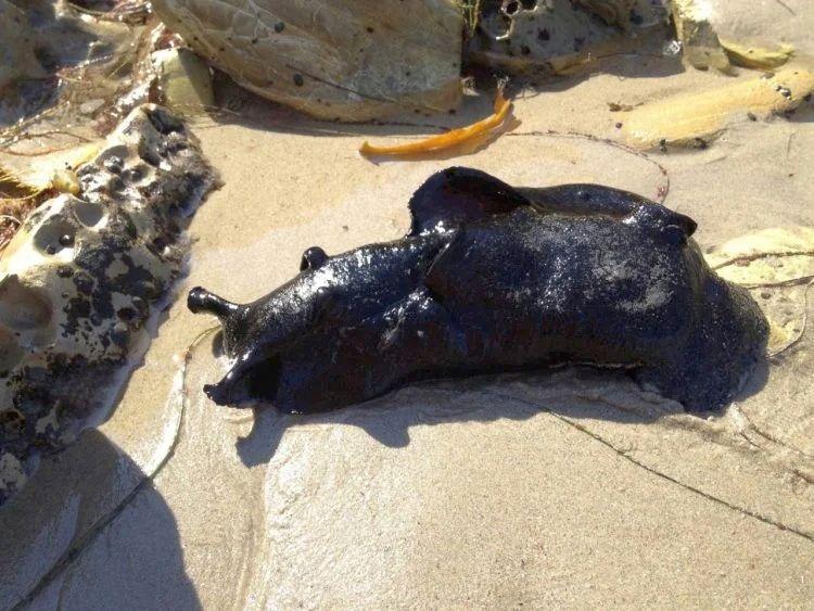 Самый крупный в мире морской слизень