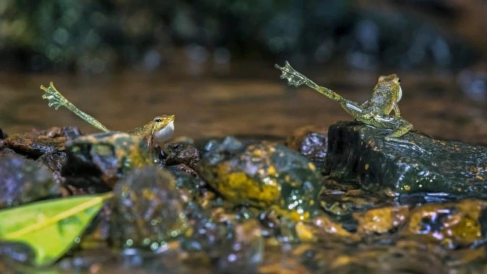 В Индии запечатлели редкую лягушку, поднимающую лапу в поисках пары