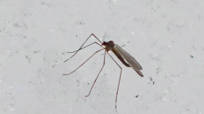 Жители Твери обнаружили морозостойких комаров