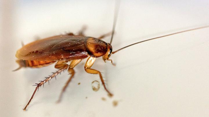 Нашествие тараканов ждет Россию в феврале