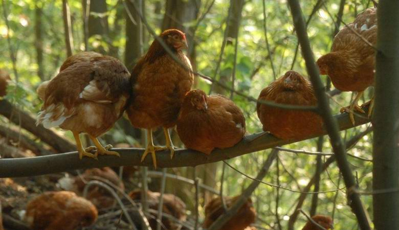 Итальянец создал в лесу уникальную куриную ферму