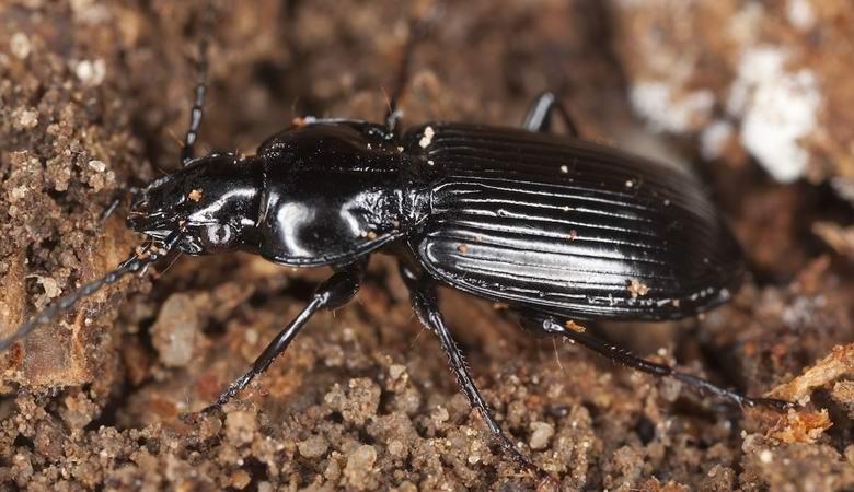 применяет крупные земляные жуки фото и названия торжество запланировано классическом