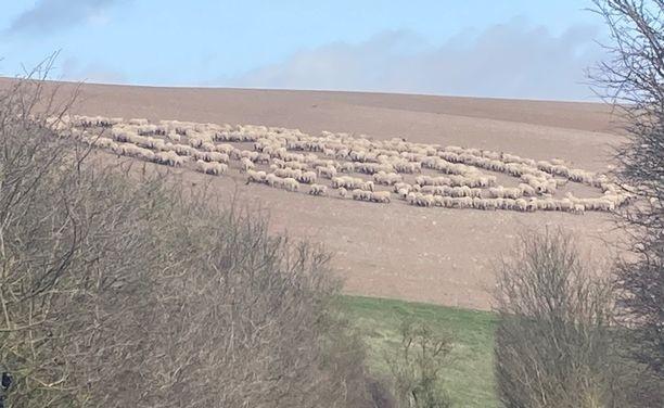 Сотни овец выстроились в ровный круг на поле