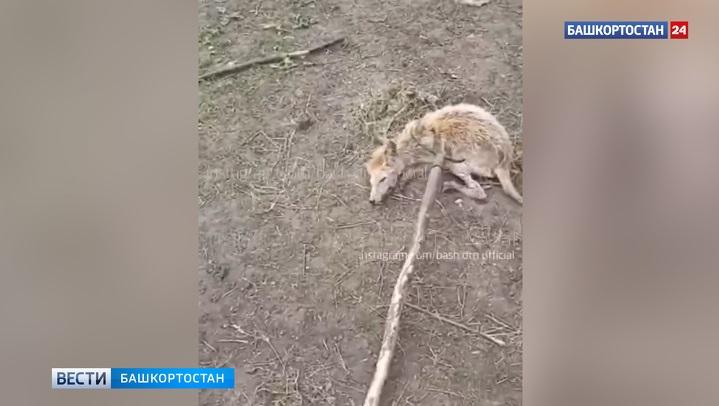 В Башкирии поймали «чупакабру» (ВИДЕО)