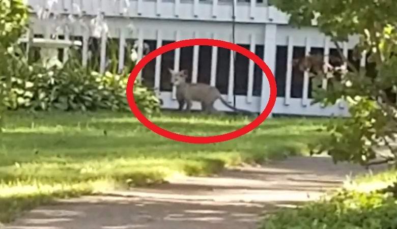 В американском городке орудует загадочное животное