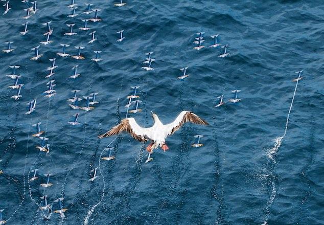 Оказывается, некоторые кальмары умеют летать