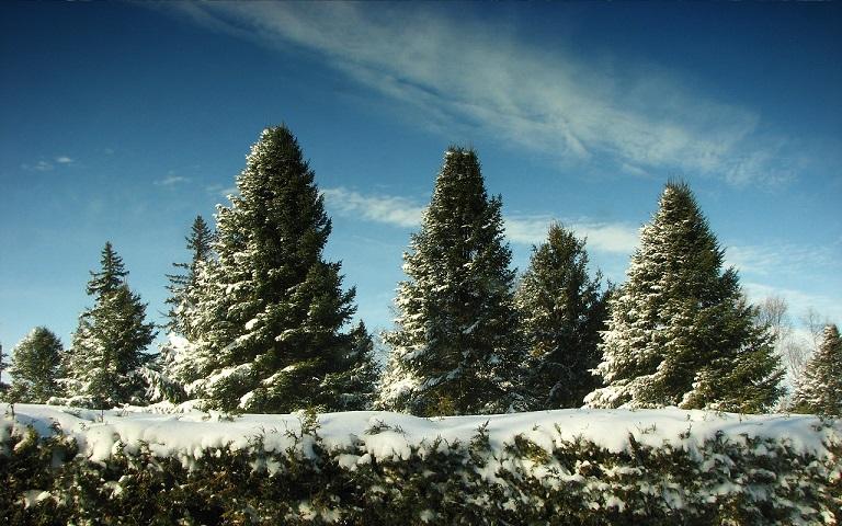 Почему хвойные деревья круглый год остаются зелеными, выяснили ученые