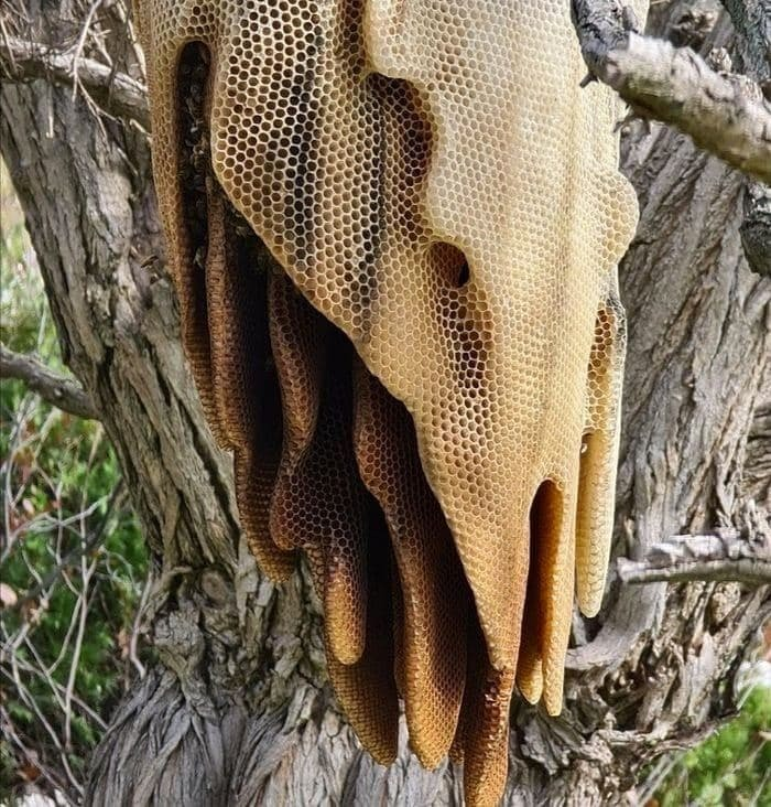 Пчелиная лавина, или Как строят такие ульи