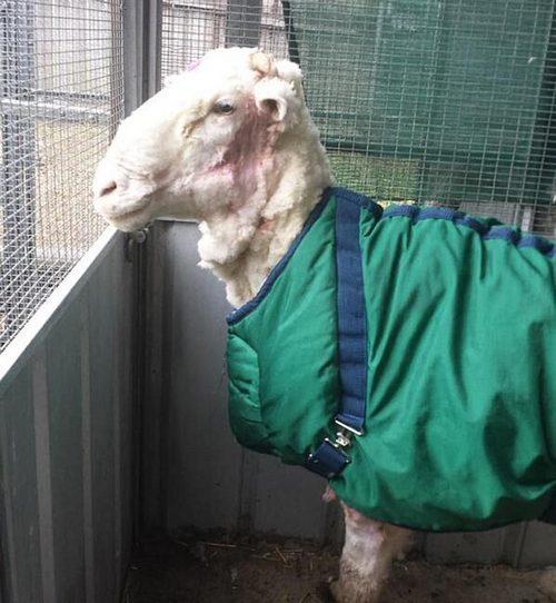 Ах ты, бедная овечка...