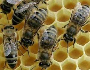 ООН подтверждает: гибель пчел - глобальный феномен