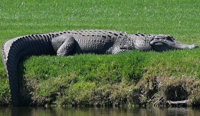 Во Флориде засняли колоссальных размеров аллигатора