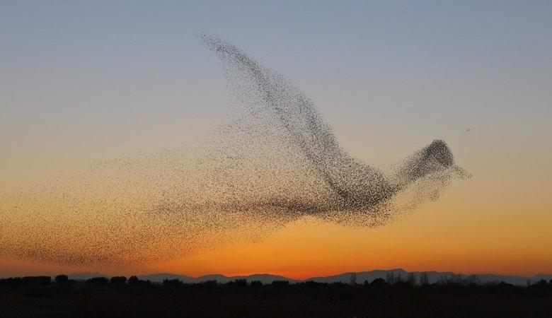 Огромная стая скворцов образовала в небе силуэт гигантской птицы