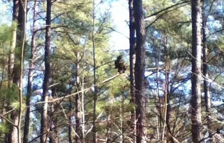 """""""Отвратительный снежный человек"""" на дереве попал в объектив камеры (2 фото)"""