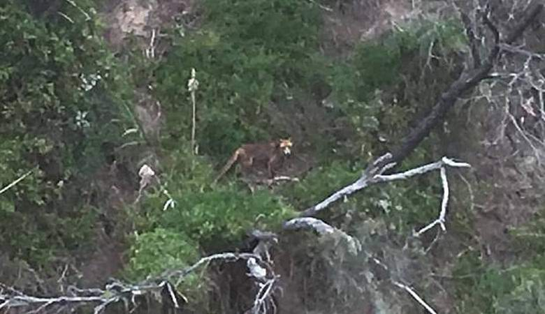 «Вымершего» сумчатого волка сфотографировали в Австралии
