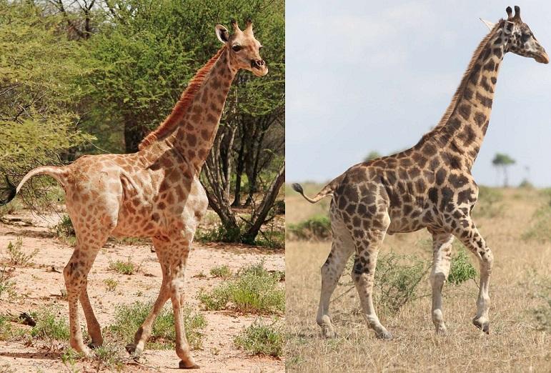 Карликовых жирафов обнаружили в Африке (ВИДЕО)