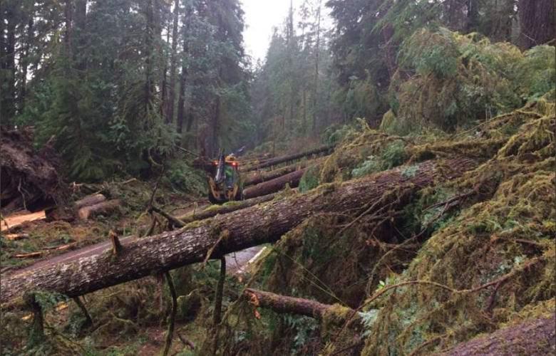 Неведомая сила повалила сотни вековых деревьев в США