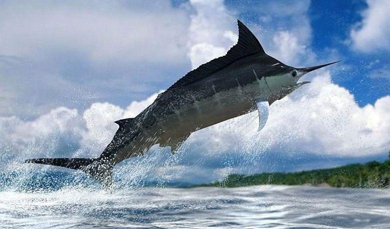 Удивительное создание моря: живой таран рыба-меч