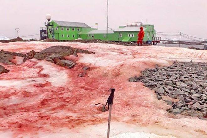 В Антарктиде снег окрасился в красный цвет