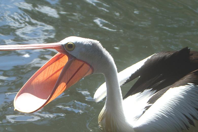 Как наглый пеликан средь бела дня ограбил рыбака