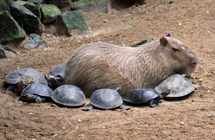 Капибара – мистически притягательный грызун