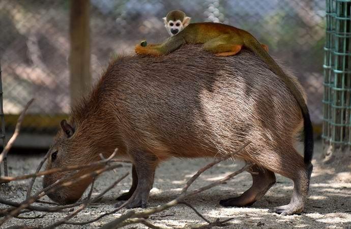 Капибара – мистически притягательный грызун (7 фото + видео)