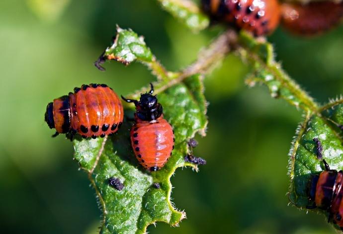 Как избавиться от колорадского жука народными средствами. Эффективный способ