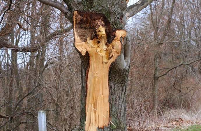 На дереве появился образ Женщины в белом