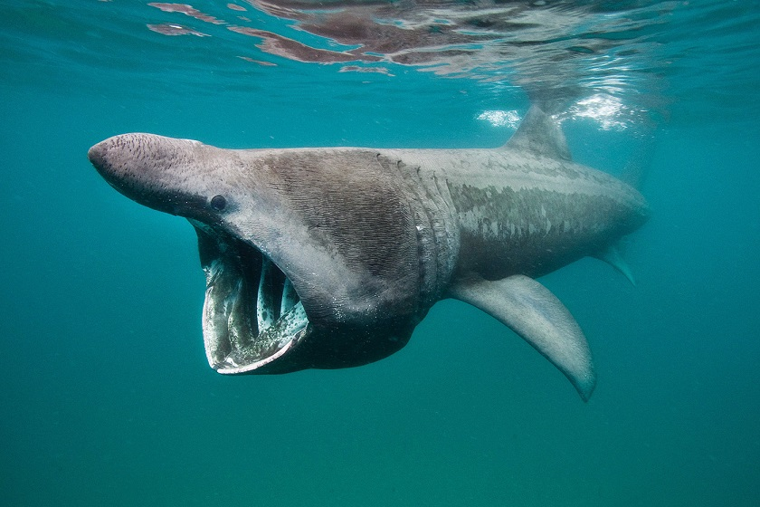 Ученые не знают, почему гигантские акулы собираются огромными стаями у берегов США