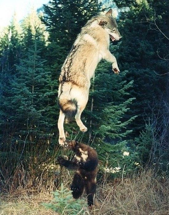 Отчаянная и вечно голодная росомаха: ее боятся даже волки и медведи