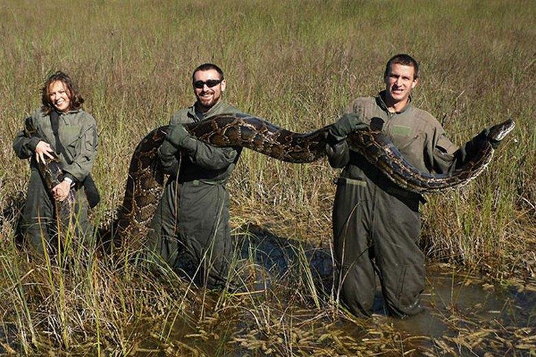 В штате Флорида жители страдают от расплодившихся в болотах тигровых питонов