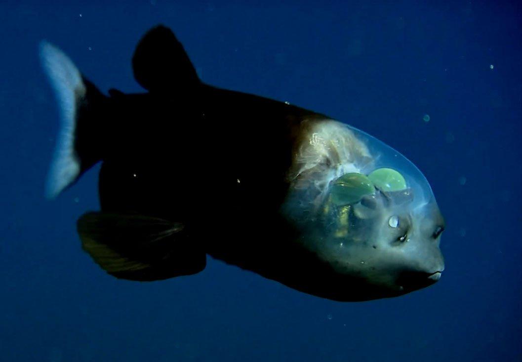 Рыбы-невидимки засняты учеными на видео