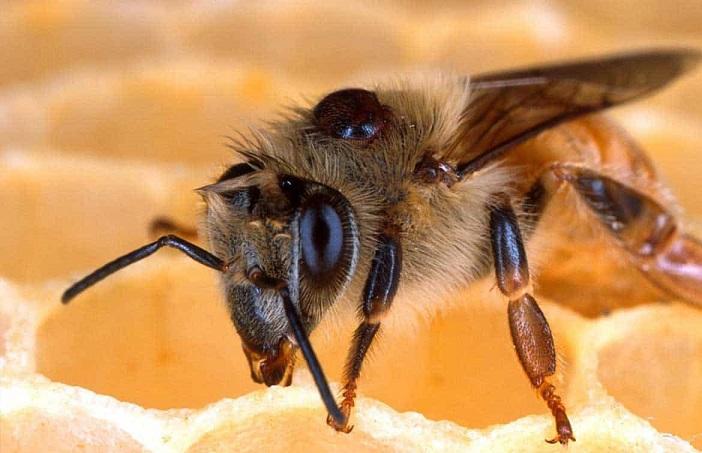 Зомби-пчелы проникают в чужие колонии и заражают их