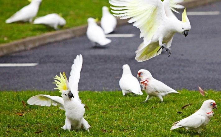 «Птичий апокалипсис»: тысячи попугаев захватили австралийский город