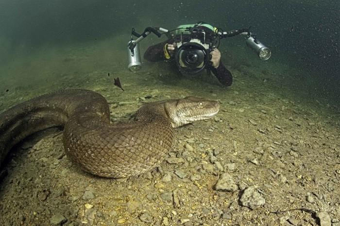 В Бразилии сняли на видео самую большую анаконду в мире