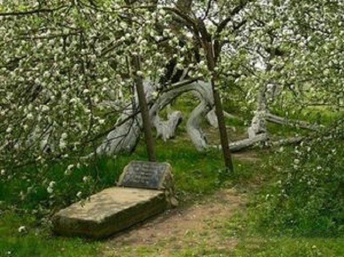 Яблоня «шагающая»