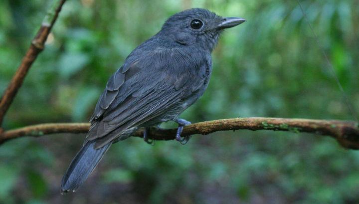 Ученые выяснили, почему в Амазонии в стаи собираются птицы разных видов