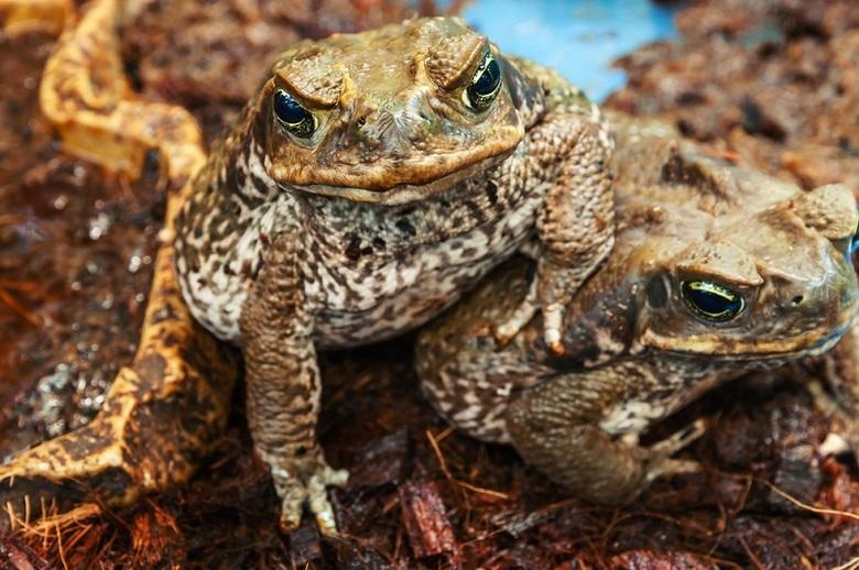 День изгнания жабы в Австралии как следствие неразумного вмешательства человека в природу