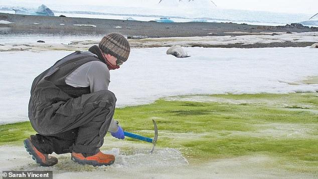 Антарктида начинает зеленеть, а пингвины этому способствуют