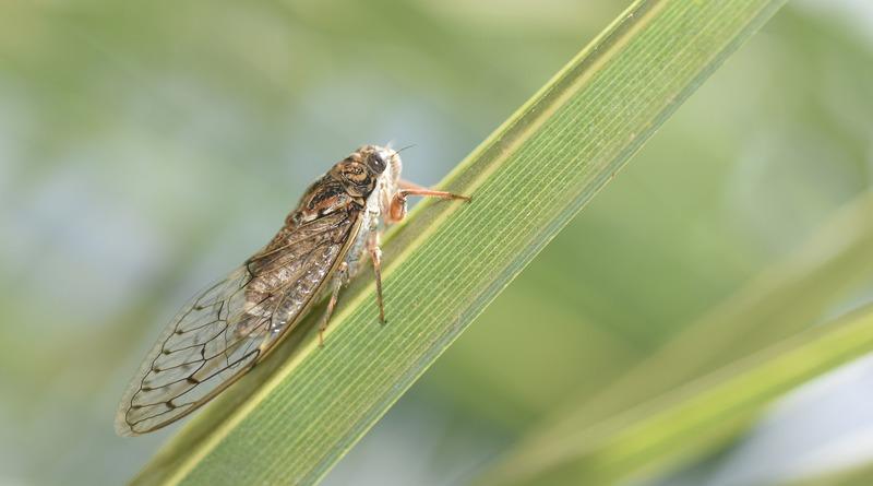 США ждет «вторжение» миллионов цикад, которые 17 лет провели под землей