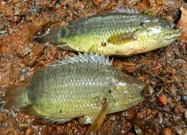 В Китае рыбы вылезли из пруда и поползли искать себе новое жилище (ВИДЕО)