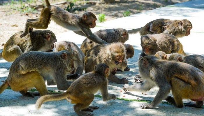 В Индии обезьяны похитили из лаборатории пробирки с кровью больных коронавирусом
