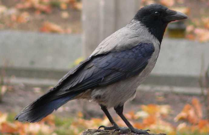 Умные и в чем-то даже загадочные вороны