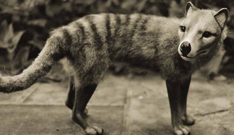 «Вымерший» сумчатый волк снова попал на камеру