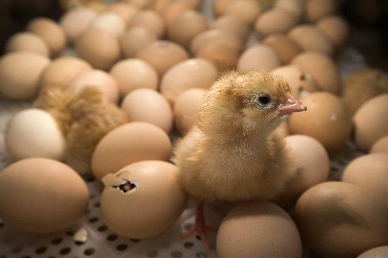 В Грузии выбросили на свалку просроченные яйца – и здесь из них вылупились сотни цыплят
