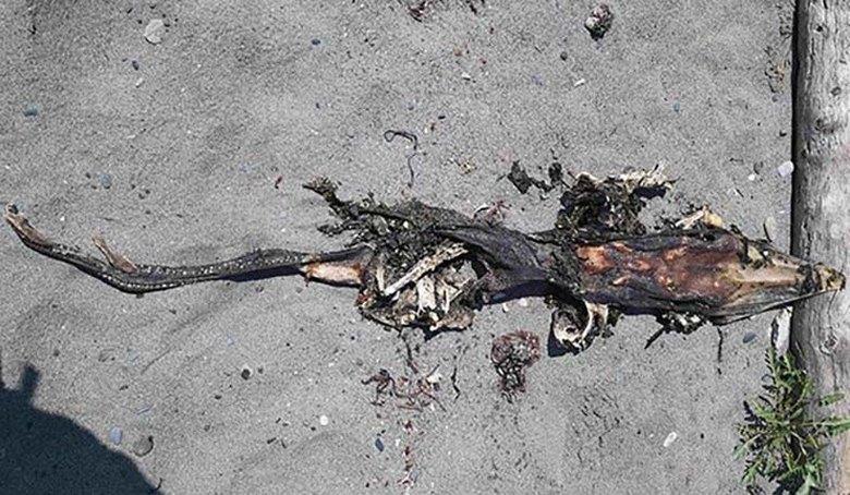 Останки загадочного существа обнаружены на пляже в Британской Колумбии