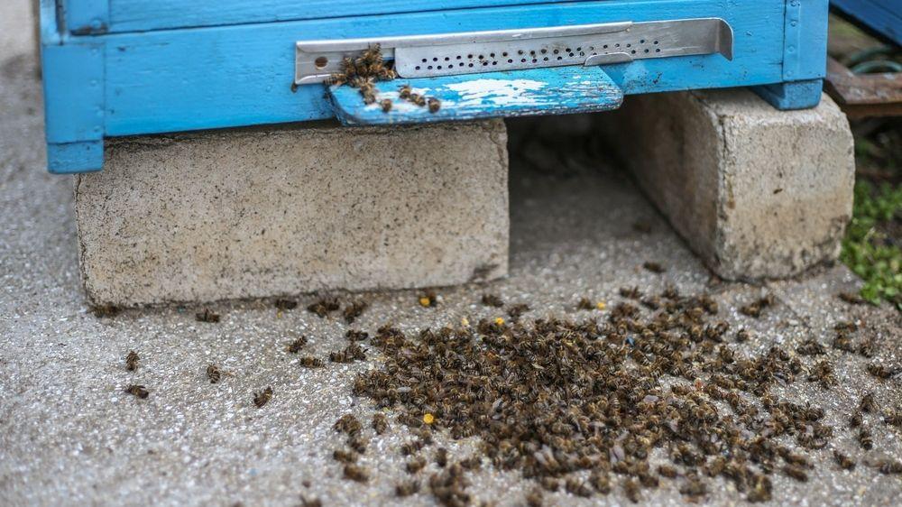 Во всем мире массово гибнут пчёлы