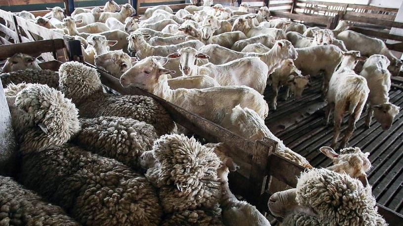 В Туве за одну ночь около тысячи овец замерзли насмерть