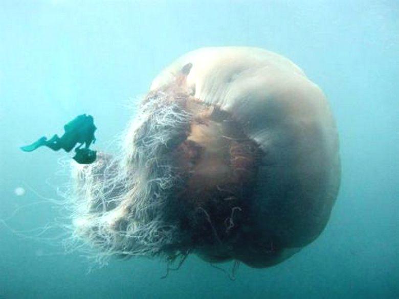 Гигантские хищные медузы: легенды или реальность?