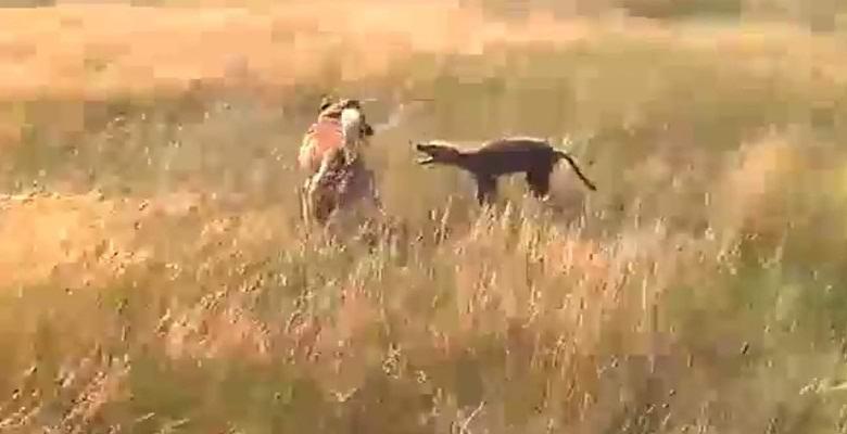 Собака сражается с загадочным животным под Волгоградом