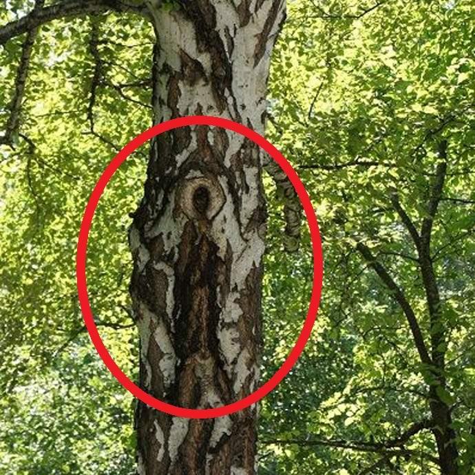 На российской березе проявился образ Богородицы (2 фото)